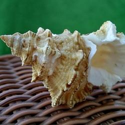 Пазл онлайн: Сувенир со дна моря