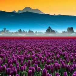 Пазл онлайн: Тюльпановое великолепие