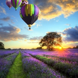 Пазл онлайн: Воздушные шары над лавандовым полем