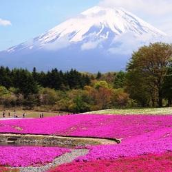 Пазл онлайн: Японские поля с цветущей шиба-закура
