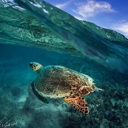 Пазл онлайн: Большая зеленая черепаха