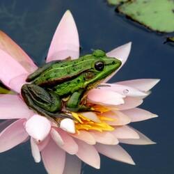 Пазл онлайн: Лягушка на лилии