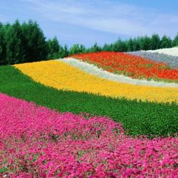 Пазл онлайн: Красочные поля фермы Томита