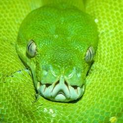Пазл онлайн: Змея