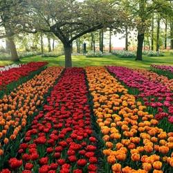 Пазл онлайн: Красочные тюльпаны