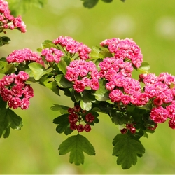 Пазл онлайн: Цветы боярышника