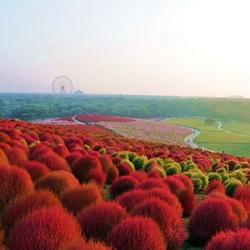Пазл онлайн: Красные кохии парка Хитачи Кайхин
