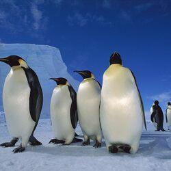 Пазл онлайн: Императорский пингвин