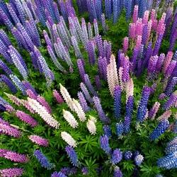 Пазл онлайн: Цветущие люпины