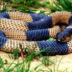 Пазл онлайн: Красивая змея