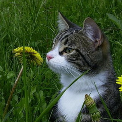 Пазл онлайн: Кот среди одуванчиков