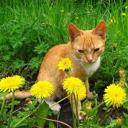 Пазл онлайн: Котёнок в одуванчиках