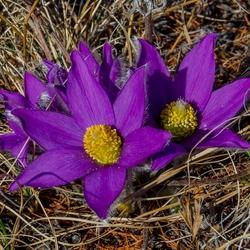 Пазл онлайн: Дикий цветок. Байкал