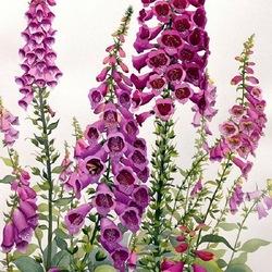 Пазл онлайн: Наперстянка цветет