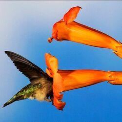 Пазл онлайн: Колибри в цветке