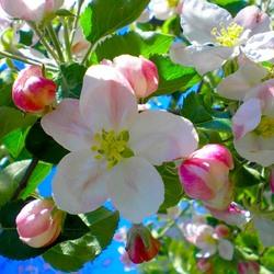 Пазл онлайн: Цветущая яблоня