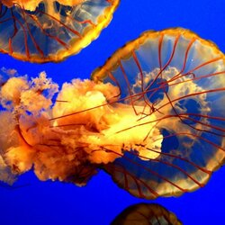 Пазл онлайн: Медуза