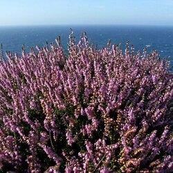 Пазл онлайн: Кусты вереска на побережье