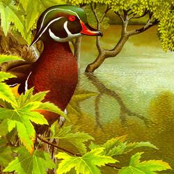Пазл онлайн: Каролинская утка