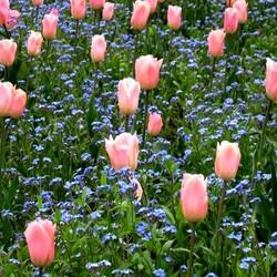 Пазл онлайн: Тюльпаны и незабудки