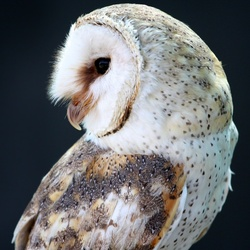 Пазл онлайн: Пятнистая сова