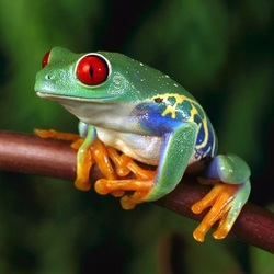 Пазл онлайн: Лягушка