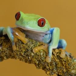 Пазл онлайн: Древесная лягушка