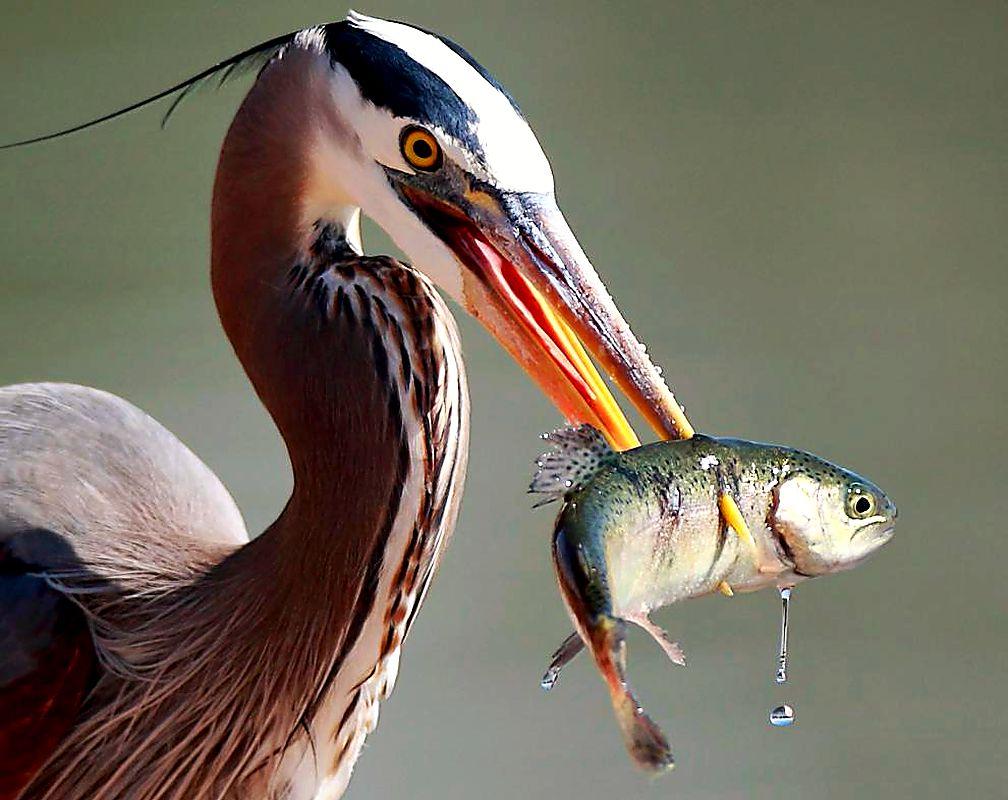 цапля и рыба картинки называется навесное оборудование