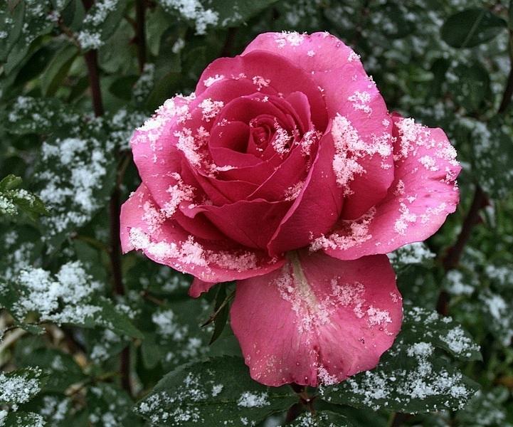 Картинки на аву цветы розы на снегу