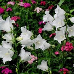Пазл онлайн: Дачные цветы