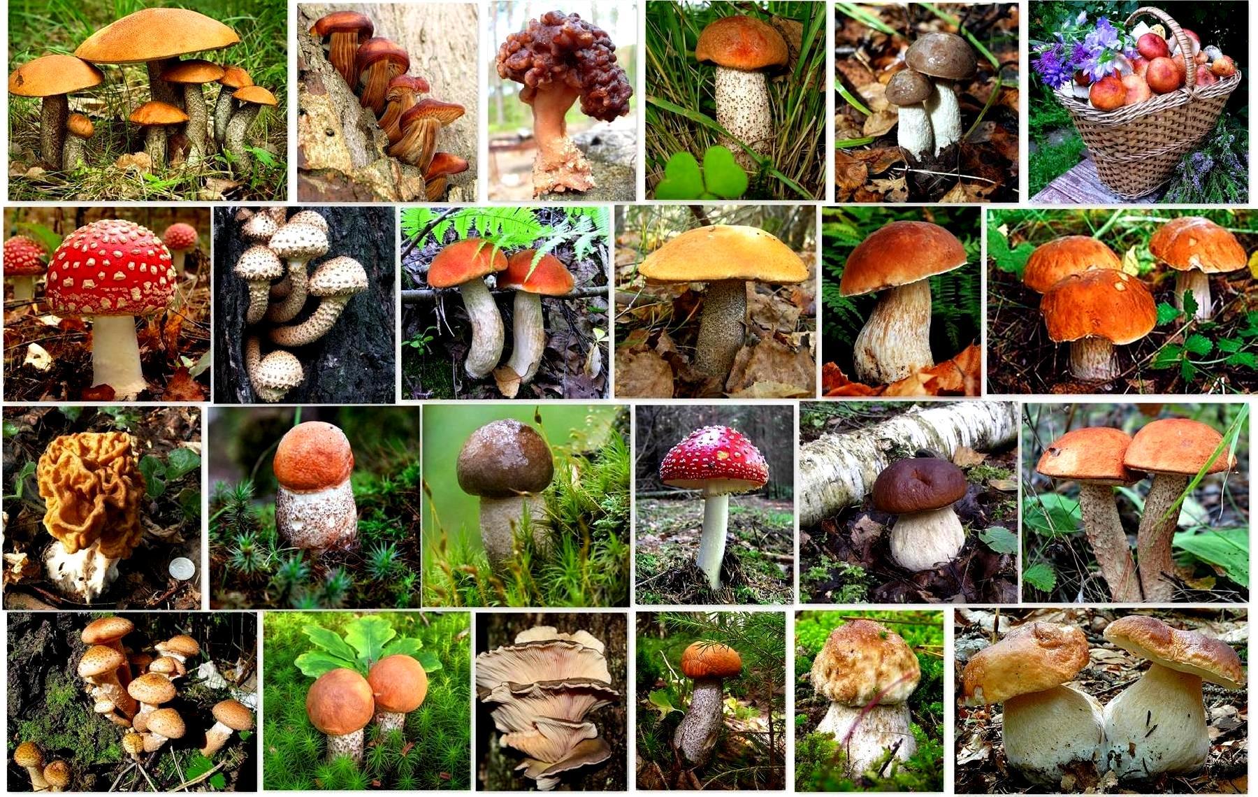 виды грибов лесных с фото