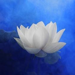 Пазл онлайн: Белый лотос
