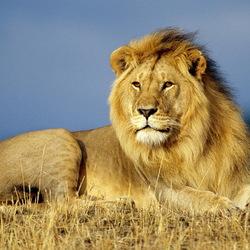 Пазл онлайн: Лев отдыхает