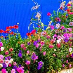 Пазл онлайн: Цветник у забора