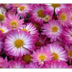 Пазл онлайн:  Розовые ромашки