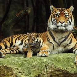 Пазл онлайн: Тигрица с тигренком