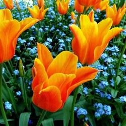 Пазл онлайн: Желтые тюльпаны в незабудках