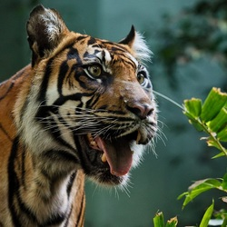 Пазл онлайн: Удивленный тигр