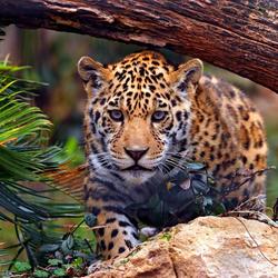 Пазл онлайн: Ягуар