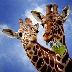 Пазл онлайн: Два жирафа
