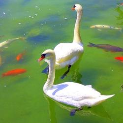 Пазл онлайн: Лебеди и рыбки
