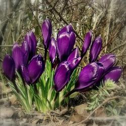Пазл онлайн: Фиолетовые крокусы