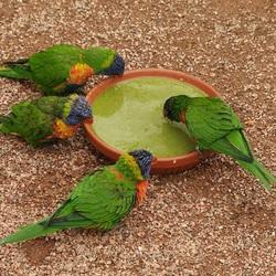Пазл онлайн:  Попугайчики