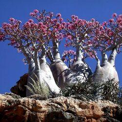 Пазл онлайн: Удивительный остров Сокотра