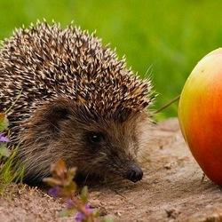 Пазл онлайн: Ежик и яблоко