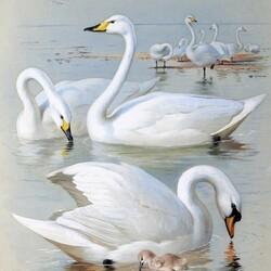 Пазл онлайн: Лебеди